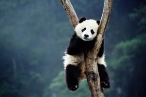 panda-sleep-2